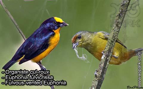 Organiste cul-roux – Euphonia fulvicrissa – Fulvous-vented Euphonia – xopark5