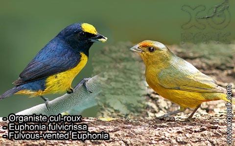 Organiste cul-roux – Euphonia fulvicrissa – Fulvous-vented Euphonia – xopark6