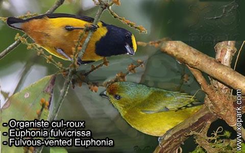 Organiste cul-roux – Euphonia fulvicrissa – Fulvous-vented Euphonia – xopark7
