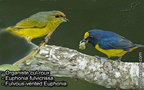 Organiste cul-roux – Euphonia fulvicrissa – Fulvous-vented Euphonia – xopark8