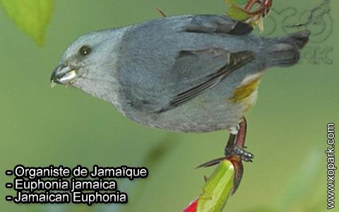 Organiste de Jamaïque – Euphonia jamaica – Jamaican Euphonia – xopark3