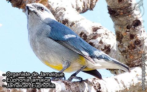 Organiste de Jamaïque – Euphonia jamaica – Jamaican Euphonia – xopark5