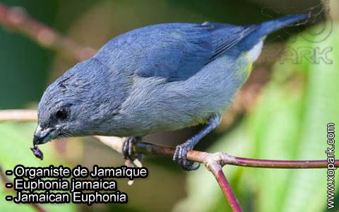 Organiste de Jamaïque – Euphonia jamaica – Jamaican Euphonia – xopark7