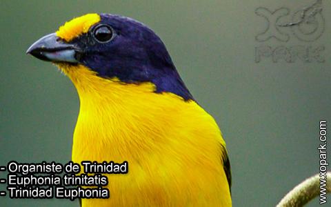 Organiste de Trinidad – Euphonia trinitatis – Trinidad Euphonia – xopark-1