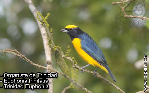 Organiste de Trinidad – Euphonia trinitatis – Trinidad Euphonia – xopark-3
