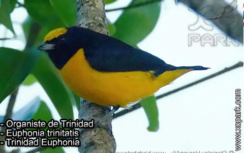 Organiste de Trinidad – Euphonia trinitatis – Trinidad Euphonia – xopark-4
