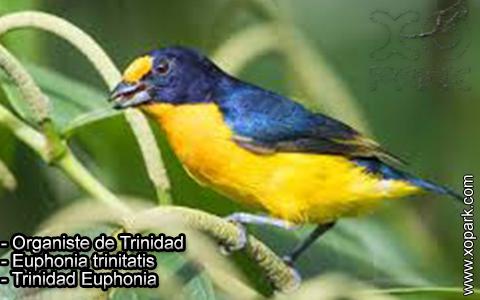 Organiste de Trinidad – Euphonia trinitatis – Trinidad Euphonia – xopark-5