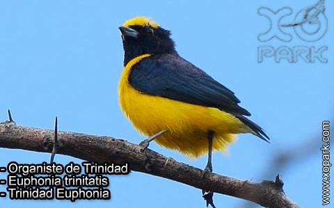 Organiste de Trinidad – Euphonia trinitatis – Trinidad Euphonia – xopark-6