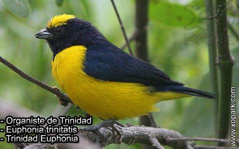 Organiste de Trinidad – Euphonia trinitatis – Trinidad Euphonia – xopark-7