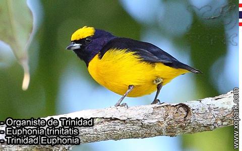 Organiste de Trinidad – Euphonia trinitatis – Trinidad Euphonia – xopark-9