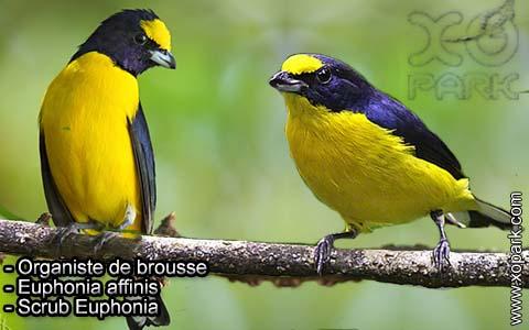 Organiste de brousse – Euphonia affinis – Scrub Euphonia – xopark1