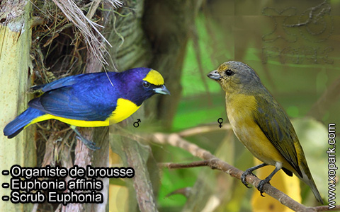 Organiste de brousse – Euphonia affinis – Scrub Euphonia – xopark2