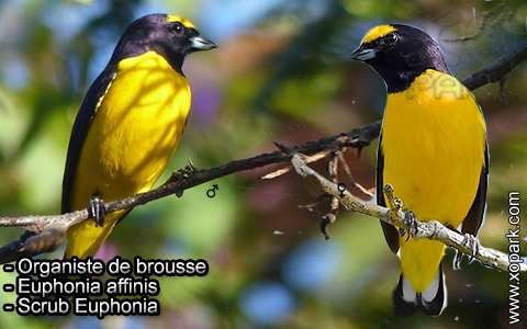 Organiste de brousse – Euphonia affinis – Scrub Euphonia – xopark3