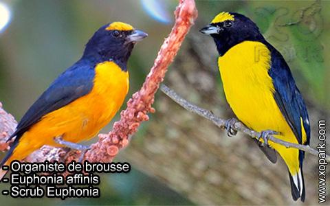Organiste de brousse – Euphonia affinis – Scrub Euphonia – xopark4
