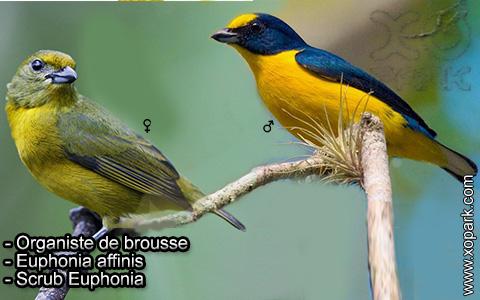 Organiste de brousse – Euphonia affinis – Scrub Euphonia – xopark5