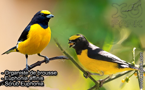 Organiste de brousse – Euphonia affinis – Scrub Euphonia – xopark7