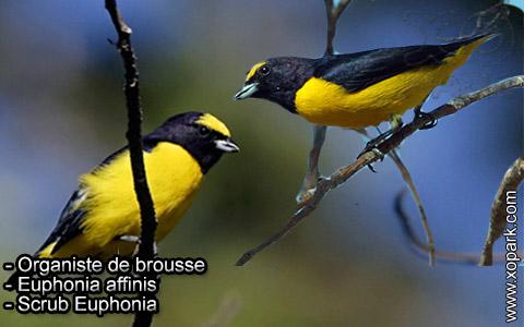 Organiste de brousse – Euphonia affinis – Scrub Euphonia – xopark8