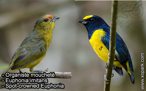Organiste moucheté Euphonia imitans – Spot-crowned Euphonia – xopark-1