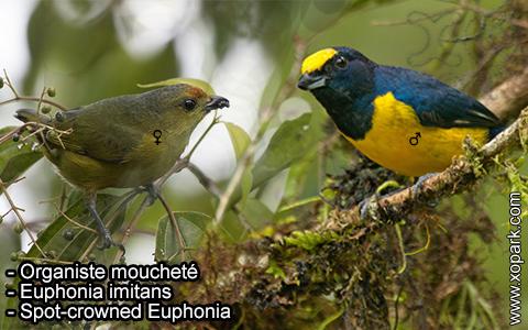 Organiste moucheté Euphonia imitans – Spot-crowned Euphonia – xopark-10