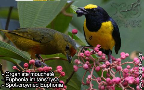 Organiste moucheté Euphonia imitans – Spot-crowned Euphonia – xopark-3