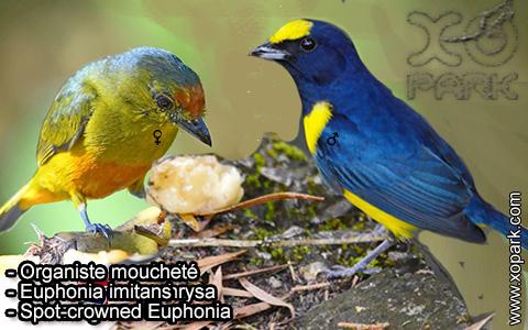Organiste moucheté Euphonia imitans – Spot-crowned Euphonia – xopark-4