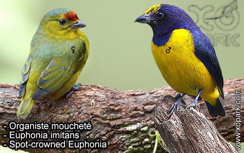Organiste moucheté Euphonia imitans – Spot-crowned Euphonia – xopark-5