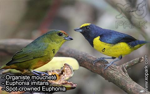 Organiste moucheté Euphonia imitans – Spot-crowned Euphonia – xopark-6