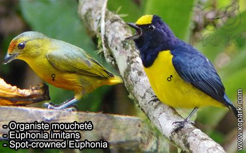 Organiste moucheté Euphonia imitans – Spot-crowned Euphonia – xopark-7