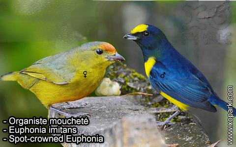Organiste moucheté Euphonia imitans – Spot-crowned Euphonia – xopark-9