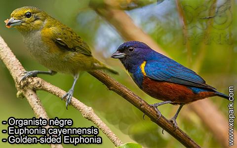 Organiste nègre –Euphonia cayennensis – Golden-sided Euphonia – xopark-1