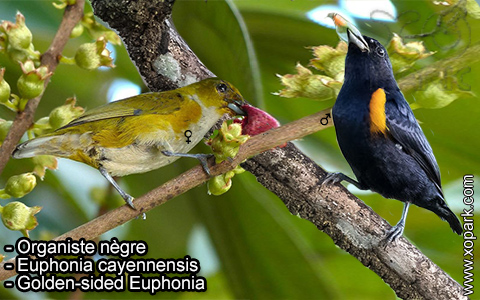 Organiste nègre –Euphonia cayennensis – Golden-sided Euphonia – xopark-2