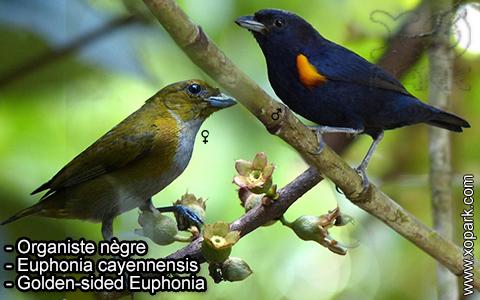 Organiste nègre –Euphonia cayennensis – Golden-sided Euphonia – xopark-3
