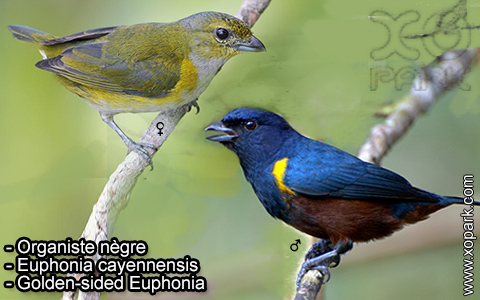 Organiste nègre –Euphonia cayennensis – Golden-sided Euphonia – xopark-4