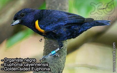 Organiste nègre –Euphonia cayennensis – Golden-sided Euphonia – xopark-6