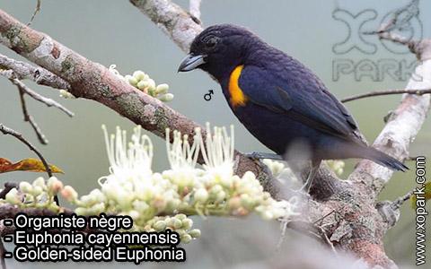 Organiste nègre –Euphonia cayennensis – Golden-sided Euphonia – xopark-7