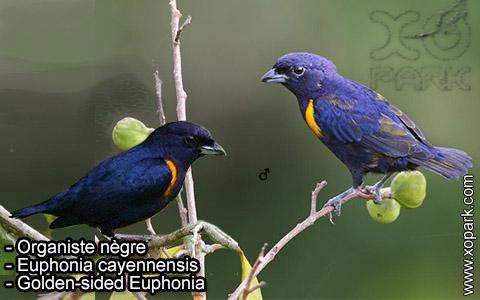 Organiste nègre –Euphonia cayennensis – Golden-sided Euphonia – xopark-8