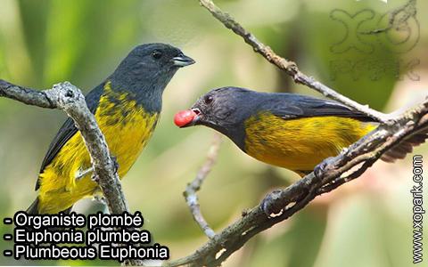 Organiste plombé –Euphonia plumbea – Plumbeous Euphonia – xopark-1