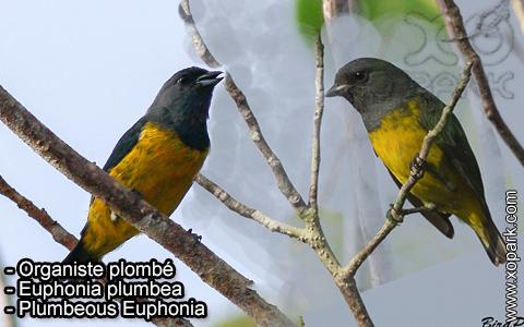 Organiste plombé –Euphonia plumbea – Plumbeous Euphonia – xopark-2