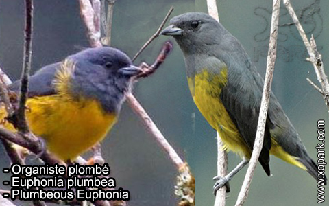 Organiste plombé –Euphonia plumbea – Plumbeous Euphonia – xopark-3
