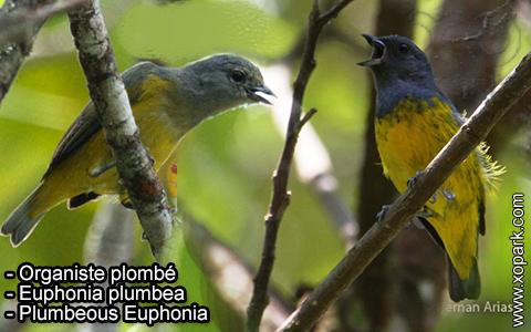 Organiste plombé –Euphonia plumbea – Plumbeous Euphonia – xopark-4