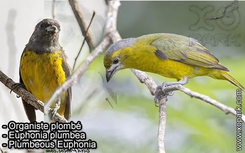Organiste plombé –Euphonia plumbea – Plumbeous Euphonia – xopark-5