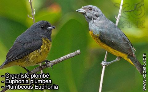 Organiste plombé –Euphonia plumbea – Plumbeous Euphonia – xopark-6