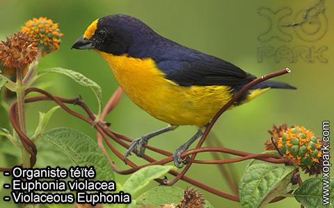 Organiste téïté – Euphonia violacea – Violaceous Euphonia – xopark-10