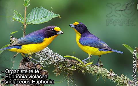 Organiste téïté – Euphonia violacea – Violaceous Euphonia – xopark-9