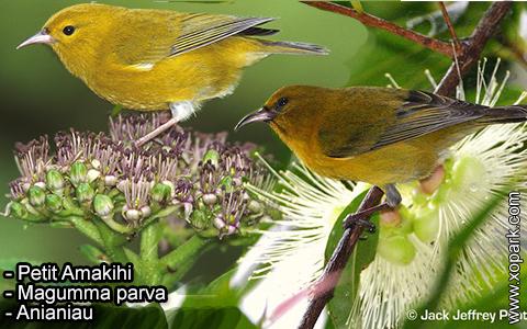 Petit Amakihi –Magumma parva – Anianiau – xopark-6