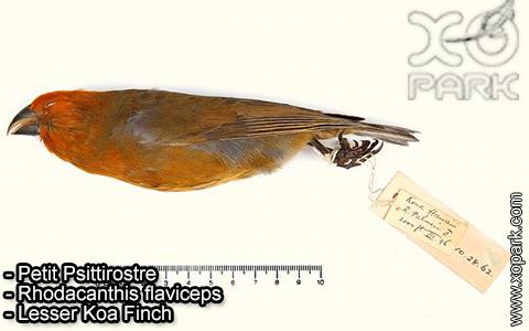 Petit Psittirostre –Rhodacanthis flaviceps – Lesser Koa Finch – xopark-1