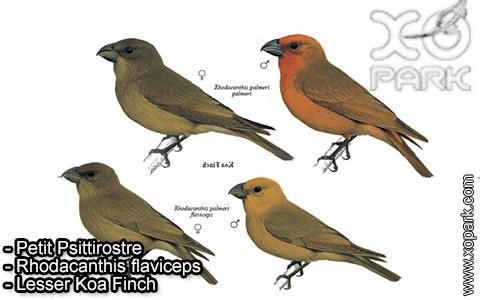 Petit Psittirostre –Rhodacanthis flaviceps – Lesser Koa Finch – xopark-4