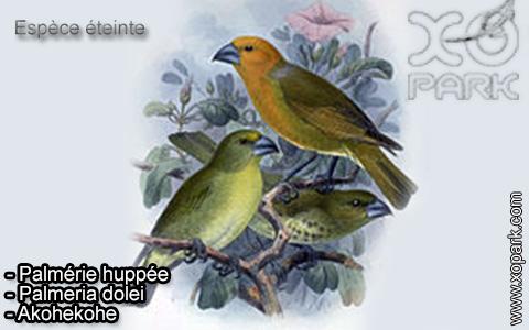 Petit Psittirostre –Rhodacanthis flaviceps – Lesser Koa Finch – xopark-5