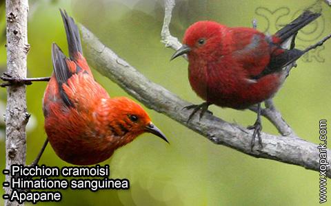 Picchion cramoisi –Himatione sanguinea – Apapane – xopark-1
