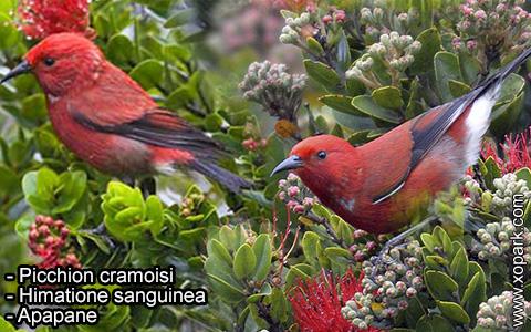 Picchion cramoisi –Himatione sanguinea – Apapane – xopark-2